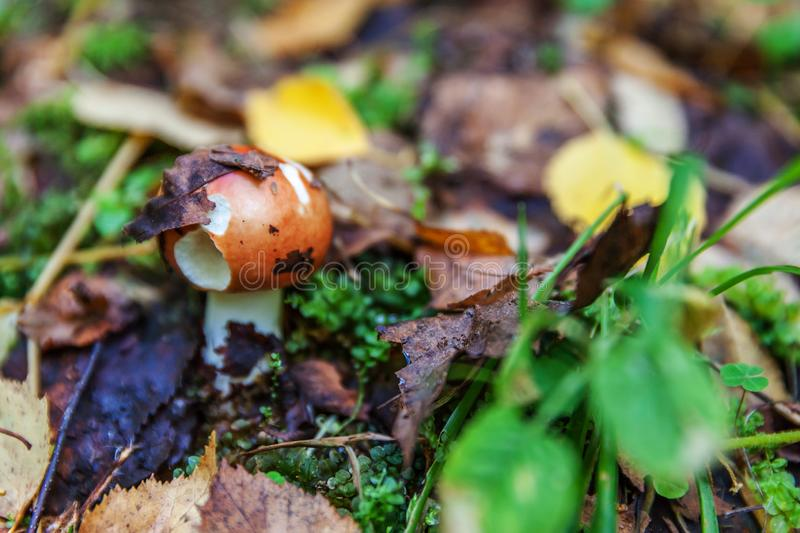 Edible small mushroom Russula with red russet cap in moss autumn forest background. Fungus in the natural environment close up. Edible small mushroom Russula royalty free stock photo