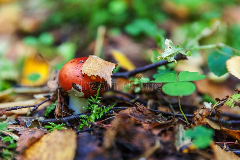 Edible small mushroom Russula with red russet cap in moss autumn forest background. Fungus in the natural environment close up. Edible small mushroom Russula stock image