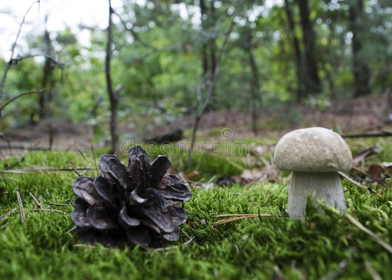 Edible, very tasty and valuable mushroom in natural growth condition stock images