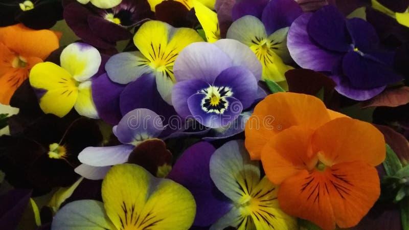 edibleflowers de la primavera del clorfull de la flor del pansie imágenes de archivo libres de regalías