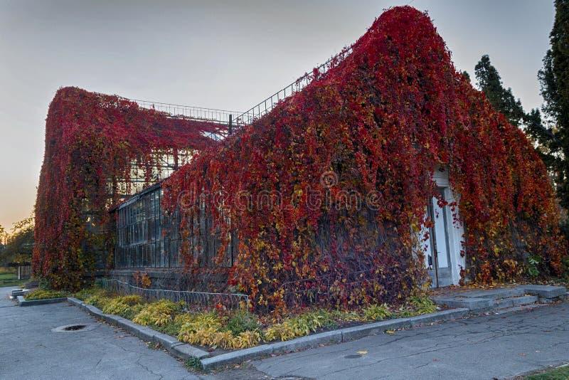 Edificio viejo con la hiedra roja foto de archivo libre de regalías
