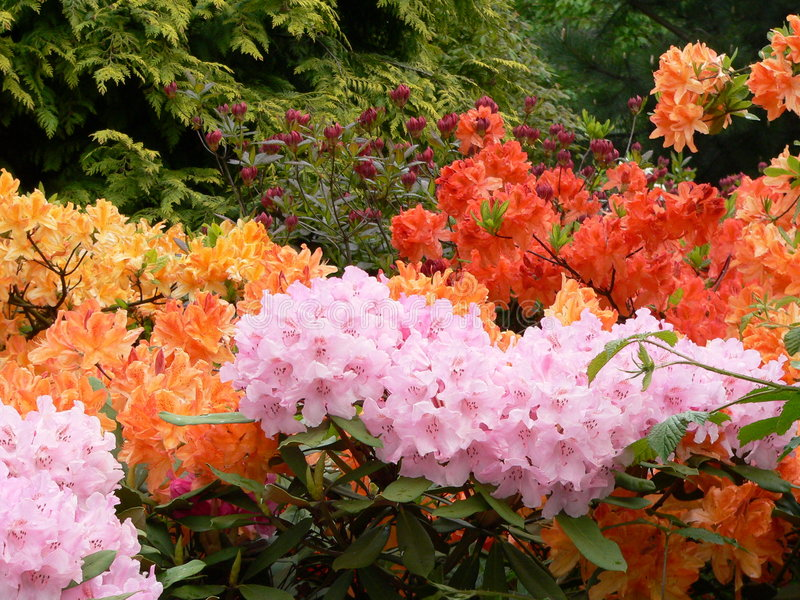 Edinburgh Rhododendron 5 royalty free stock photography