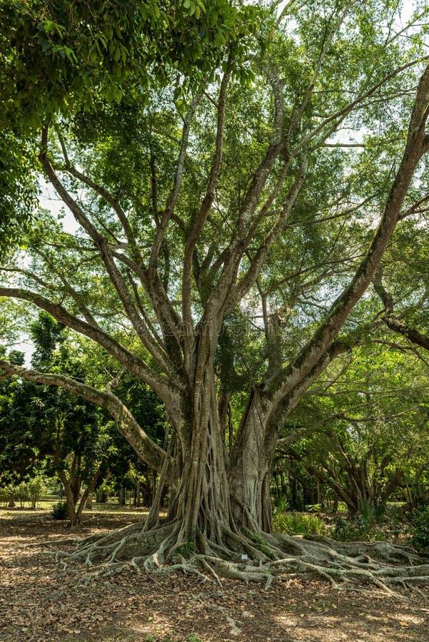 Edison und Ford Winter Estates Park Tree Fort Myers, Florida stockfotografie