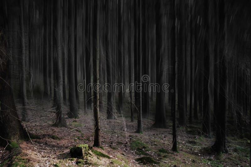 Edited pine forest royalty free stock image