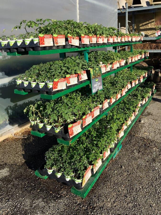 EDITORIALE: Vari appartamenti di verdure del giardino da vendere ad un rivenditore dell'azienda agricola e del giardino di Illino immagine stock