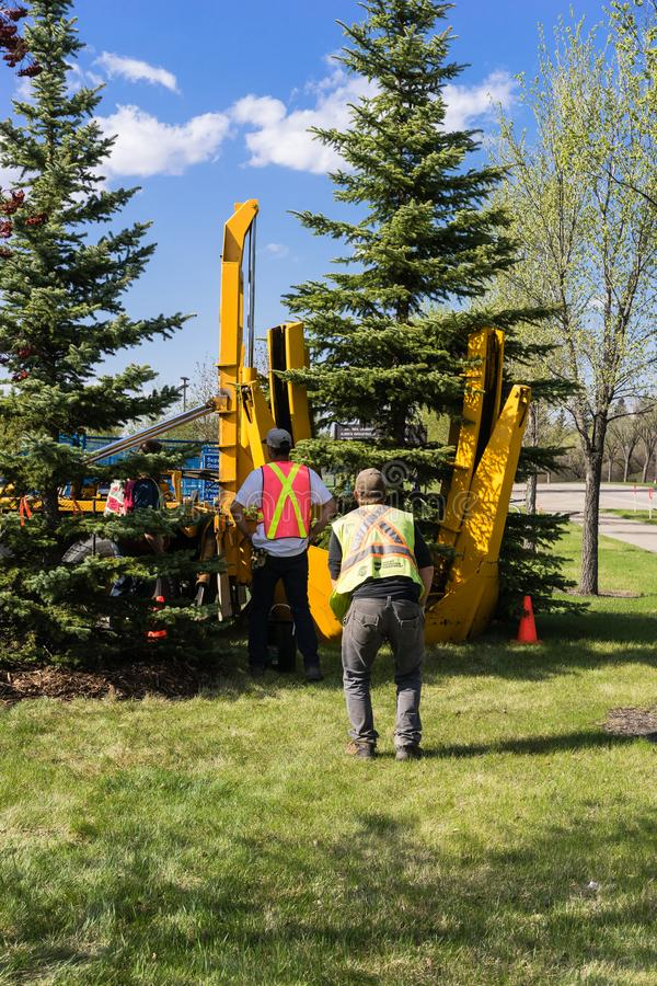 Edmonton, Canada, May 11, 2018: Contractor´s work crew planting royalty free stock photography