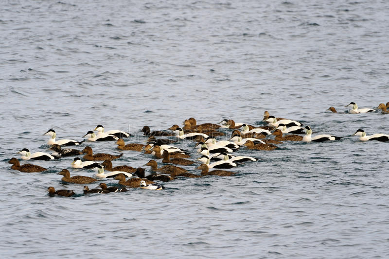 Edredon kaczek pływać obrazy royalty free