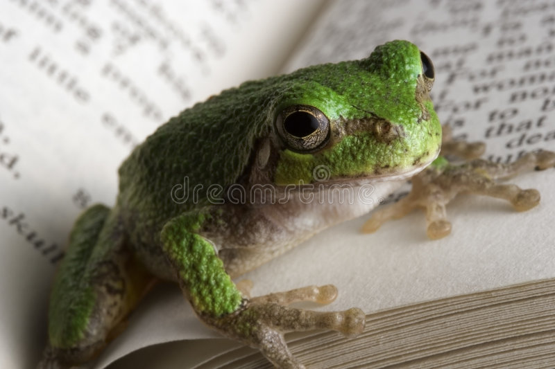 Educated Frog. A gray tree frog catching up on some reading stock image