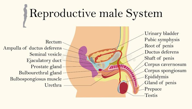 Education Chart of Biology for Male Reproductive System Diagram. Vector illustration vector illustration