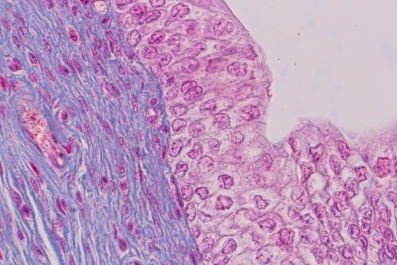 Edukacji anatomia i fizjologia jęzor pod mikroskopijnym fotografia royalty free