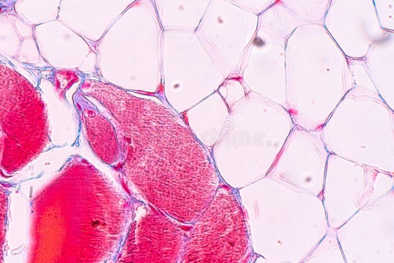Edukacji anatomia i fizjologia jęzor pod mikroskopijnym obrazy stock