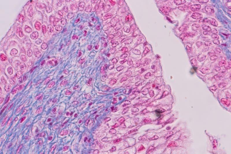 Edukacji anatomia i fizjologia jęzor pod mikroskopijnym zdjęcia royalty free