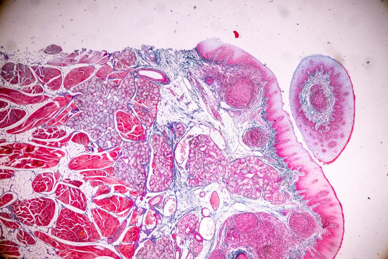 Edukacji anatomia i fizjologia jęzor pod mikroskopijnym obraz stock