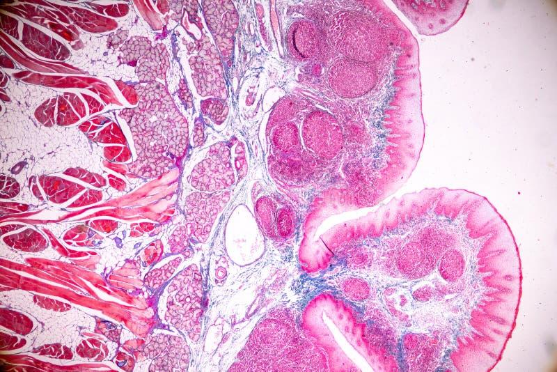 Edukacji anatomia i fizjologia jęzor pod mikroskopijnym zdjęcie stock