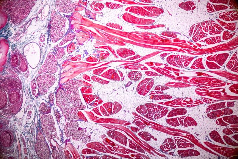 Edukacji anatomia i fizjologia jęzor pod mikroskopijnym zdjęcie royalty free