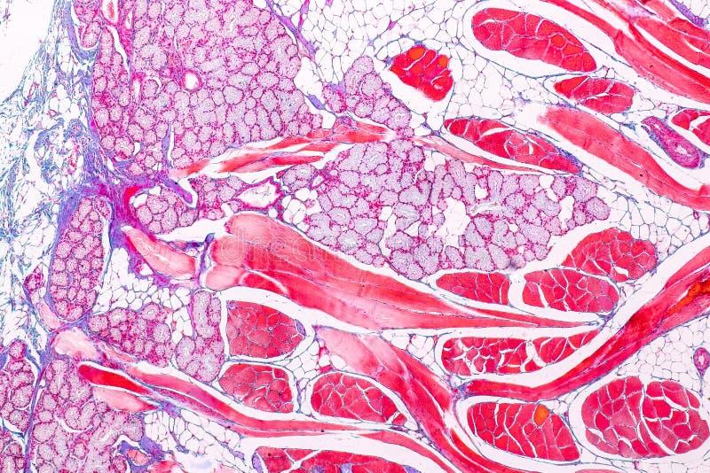 Edukacji anatomia i fizjologia jęzor pod mikroskopijnym obrazy royalty free