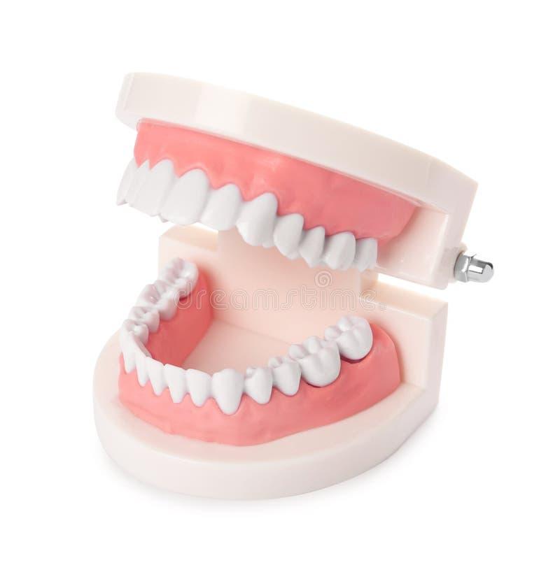 Edukacyjny model oralny zagłębienie z zębami zdjęcia royalty free