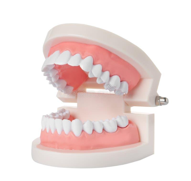 Edukacyjny model oralny zagłębienie z zębami na bielu zdjęcia stock