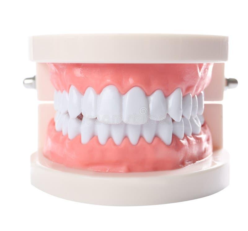 Edukacyjny model oralny zagłębienie z zębami na bielu zdjęcie royalty free