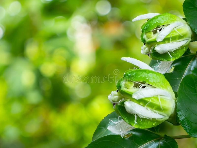 Edulis flavicarpa för Passiflora eller blomma för passionfrukt arkivbild