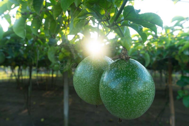 Edulis Passionfruit eller Passiflora, gemensam passionfruit, Jambhool arkivfoton