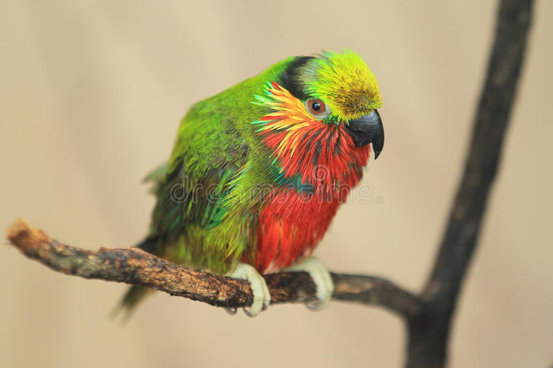 Edward fig parrot. Sitting on the branch royalty free stock photo
