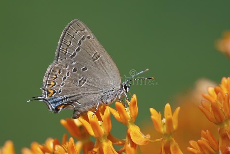 Edwards ` Hairstreak het nectaring op vlinderonkruid royalty-vrije stock afbeeldingen