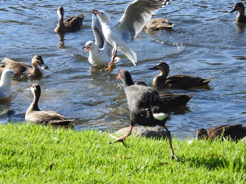 Edwards Lake Birdy imagens de stock royalty free
