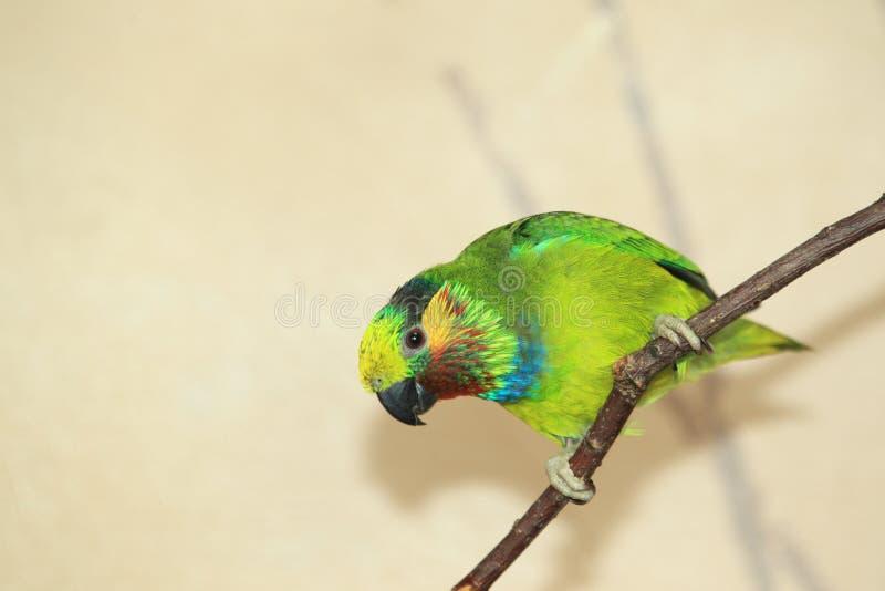 Edwards's figi papuga fotografia stock