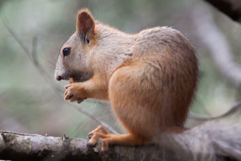Eekhoorn stock foto