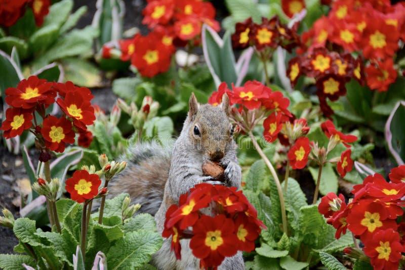 Eekhoorn in de bloemen royalty-vrije stock foto's