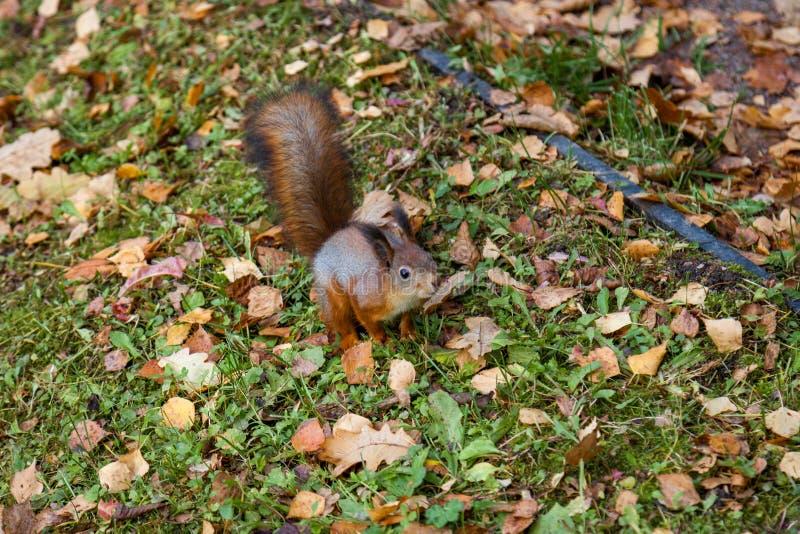 Eekhoorn in de herfstpark stock afbeelding