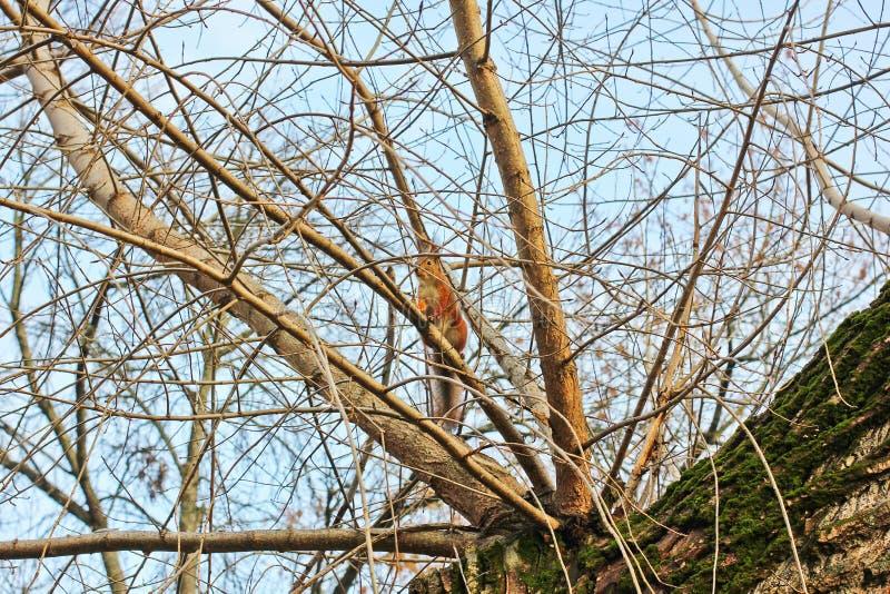 Eekhoorn in de herfstpark royalty-vrije stock afbeelding