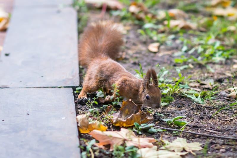 Eekhoorn in de herfstpark stock afbeeldingen