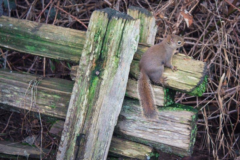 Eekhoorn de houten omheiningshanger stock afbeeldingen