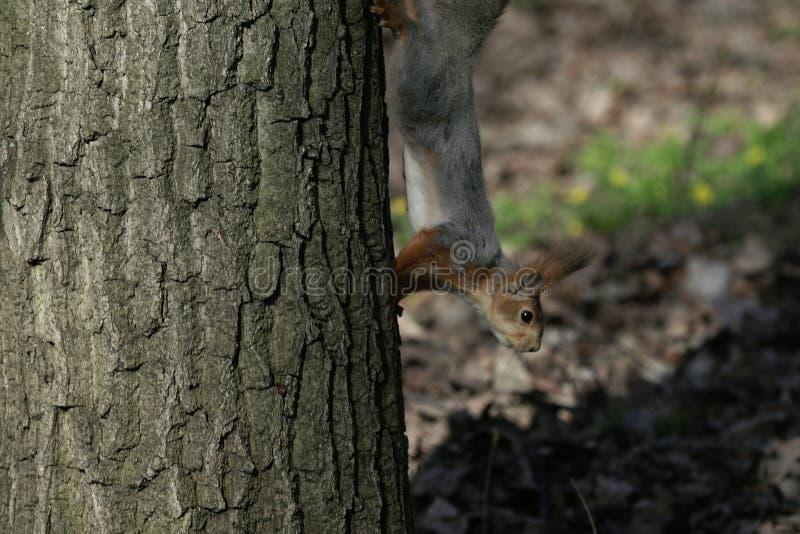 Eekhoorn in de natuurlijke habitat De eekhoorn beklimt snel bomen, vindt voedsel en eet het Zonnige de lentedag in het bos royalty-vrije stock afbeelding