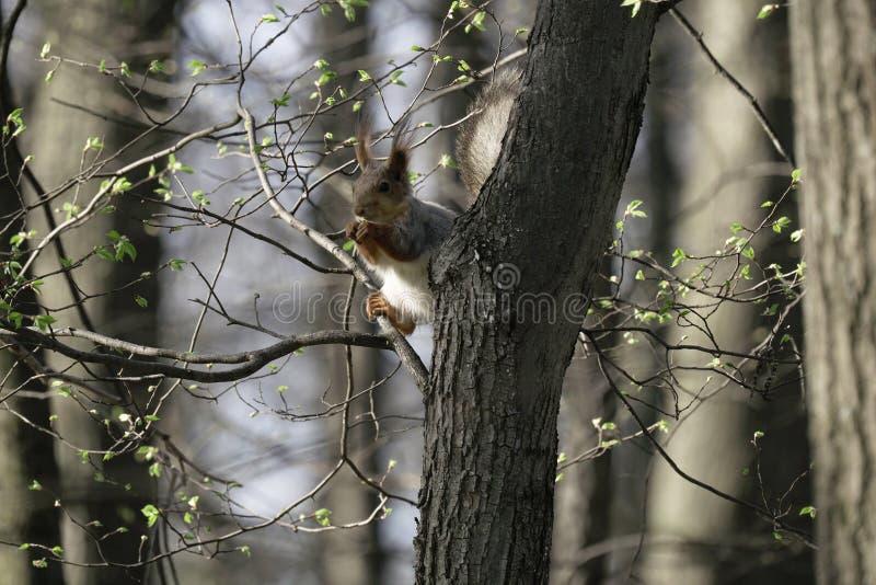 Eekhoorn in de natuurlijke habitat De eekhoorn beklimt snel bomen, vindt voedsel en eet het Zonnige de lentedag in het bos stock afbeeldingen