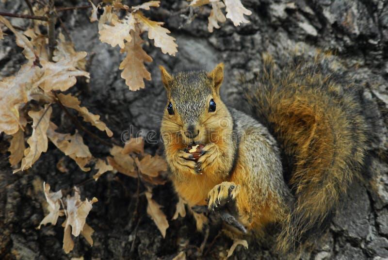 Eekhoorn die en een Snack zitten hebben stock foto