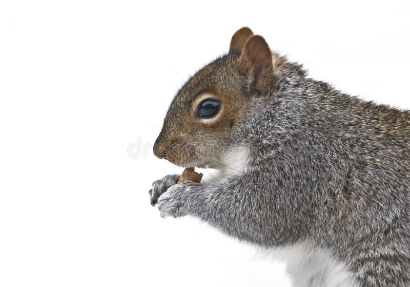 Eekhoorn die kruimel eet stock foto's