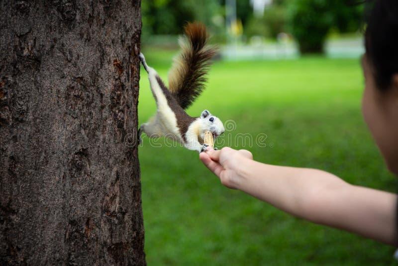Eekhoorn die noot uit weinig hand van het kindmeisje, eekhoorn binnen eten hongerig op boomboomstam in aard, Aziatische meisje he royalty-vrije stock fotografie