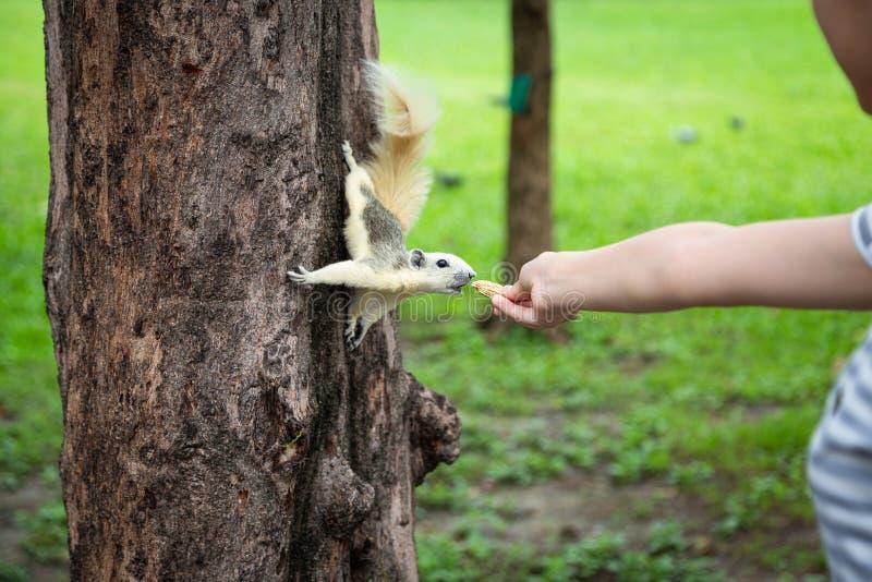 Eekhoorn die noot uit weinig hand van het kindmeisje, eekhoorn binnen eten hongerig op boomboomstam in aard, Aziatische meisje he stock foto