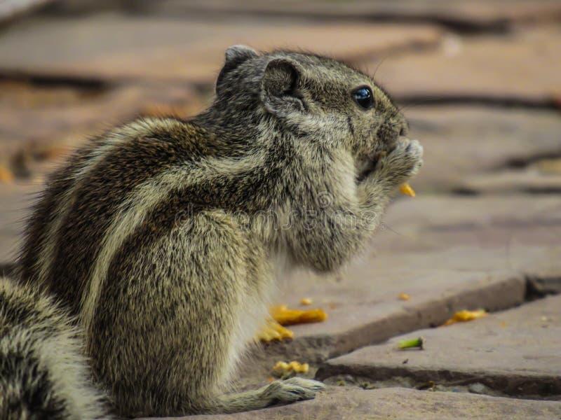 Eekhoorn die spaanders op een het lopen weg eten stock foto