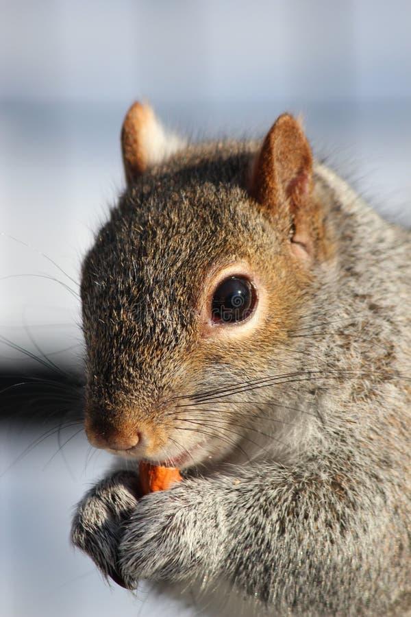 Eekhoorn die van zijn snacktime genieten stock afbeelding