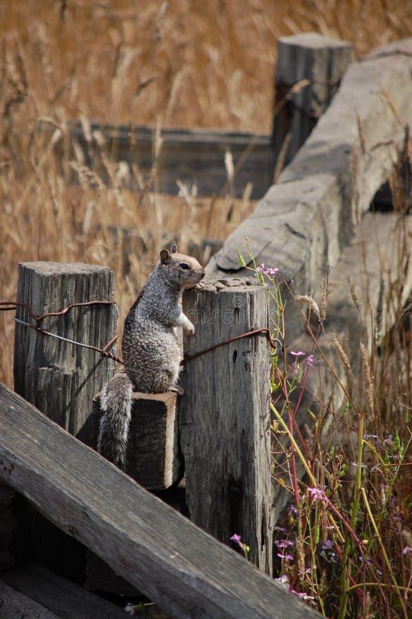 Eekhoorn die zich op een omheining bevinden stock foto's