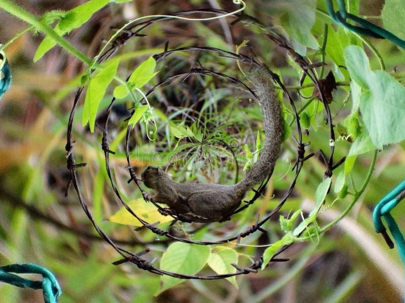 Eekhoorn in een rotatie royalty-vrije stock foto