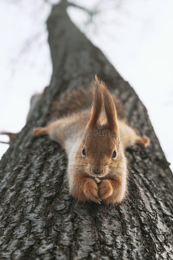 Eekhoorn eet noten die ondersteboven aan de boom hangen stock foto