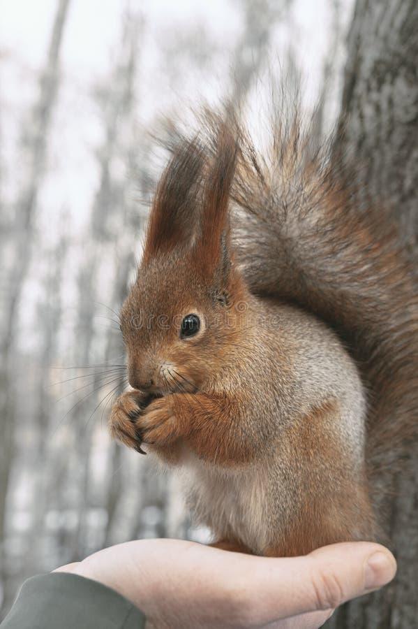 Eekhoorn eet noten op de palm stock afbeeldingen