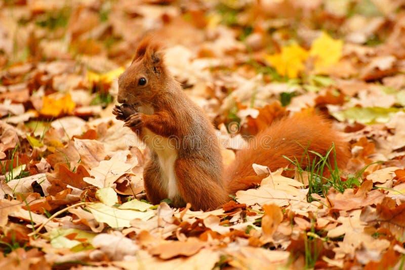 Eekhoorn en bladeren stock afbeelding