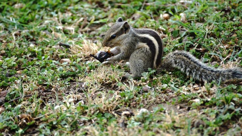 Eekhoorn gevonden etend in het park royalty-vrije stock foto