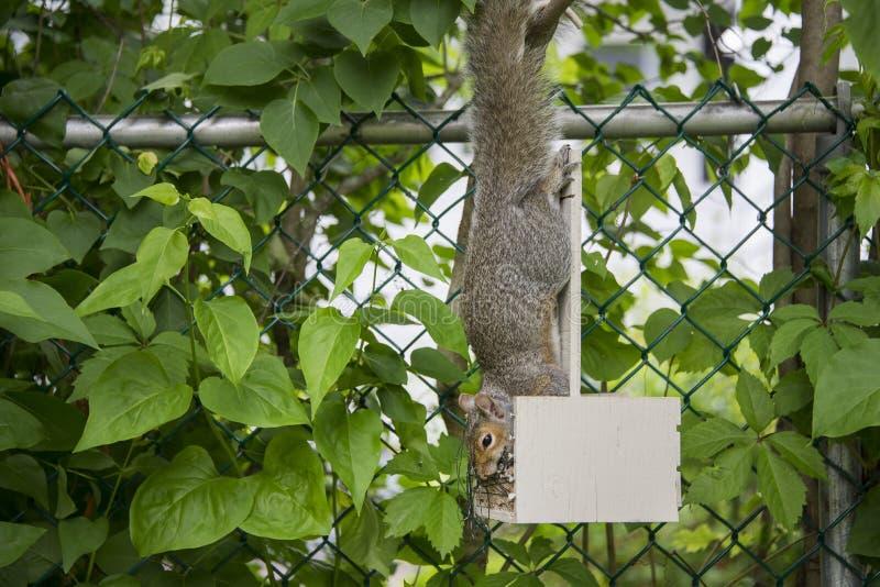 Eekhoorn hangende bovenkant - neer in een vogelvoeder met een zaad in zijn mond stock afbeelding